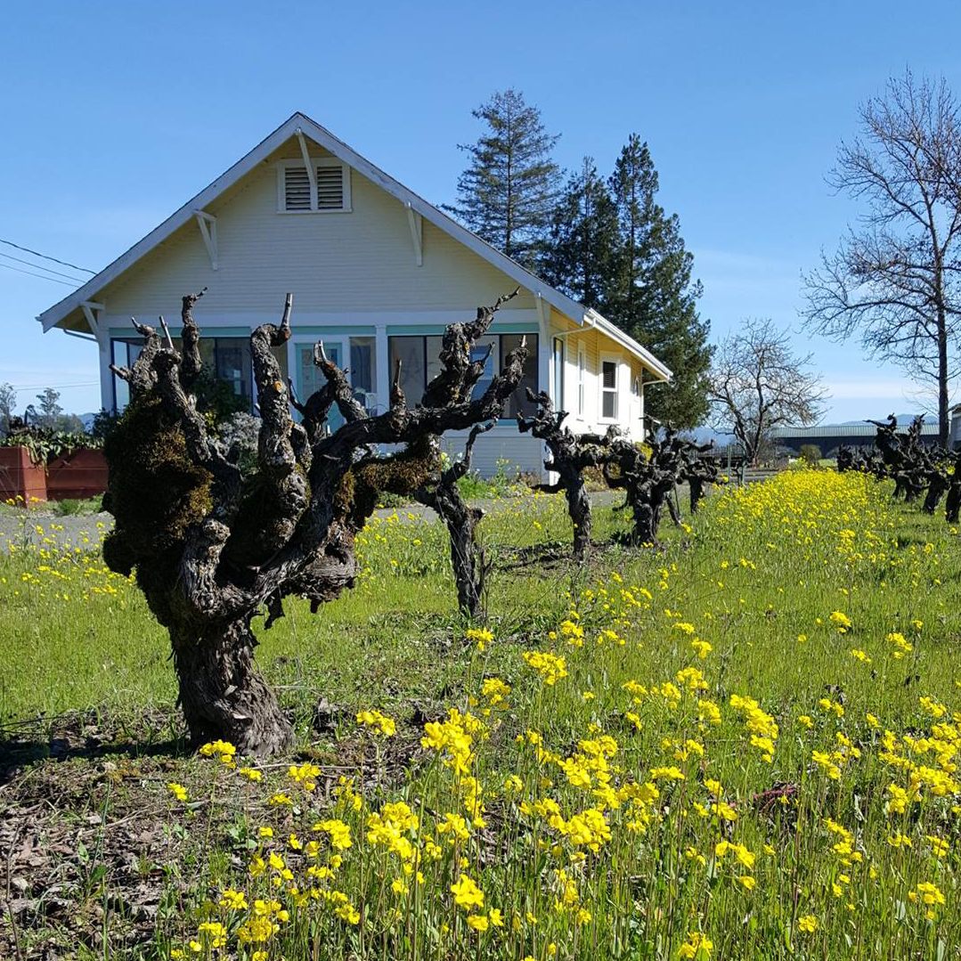 Inspiration Vineyards gnarly old vines in springtime