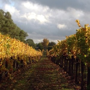 A view between vineyard rows after harvest